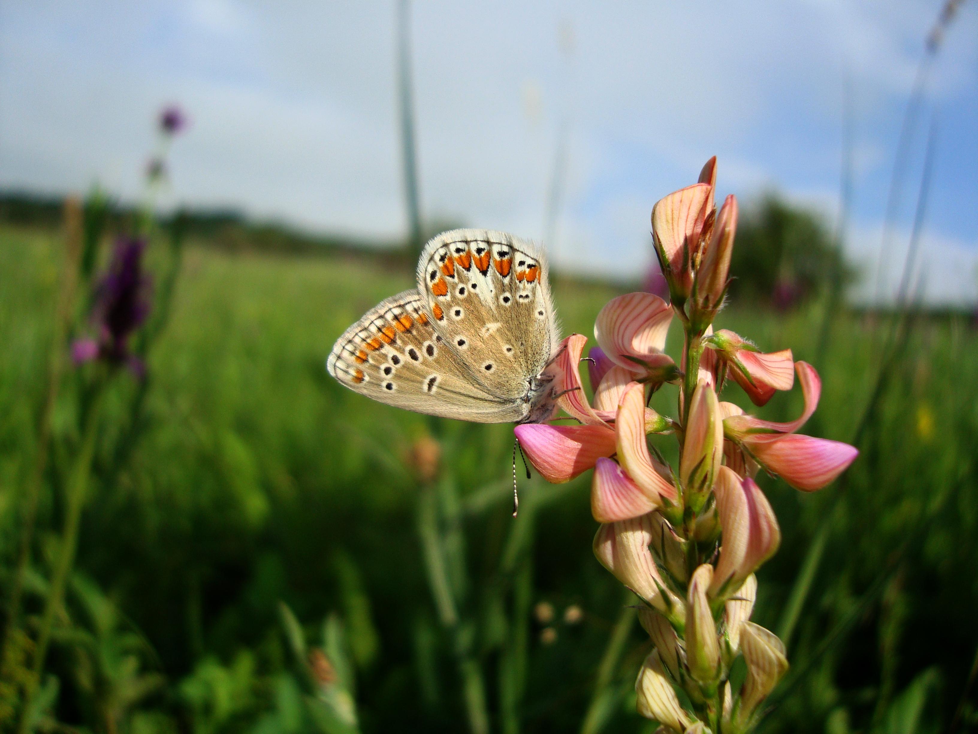 Biologia și conservarea speciilor de lepidoptere